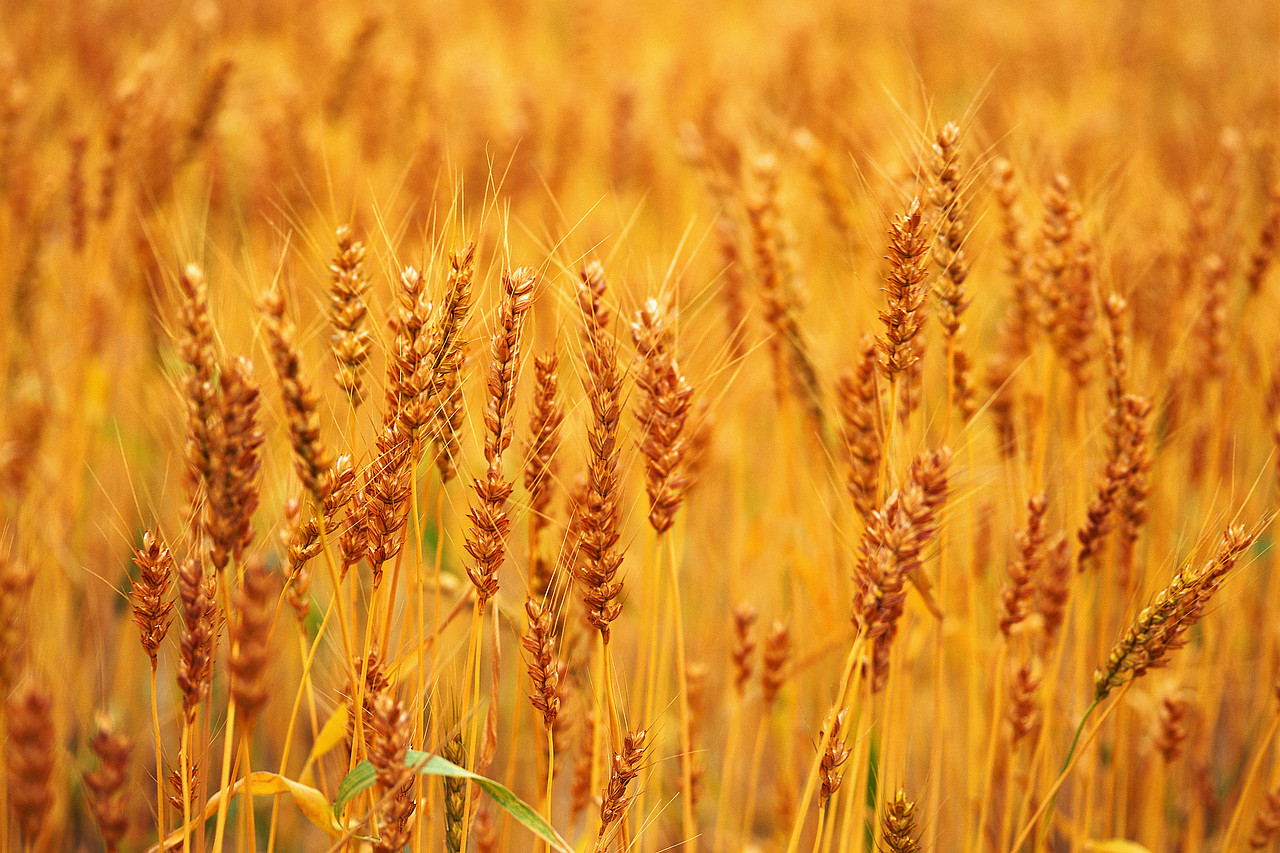 Image Result For Wheat Allergy Symptoms